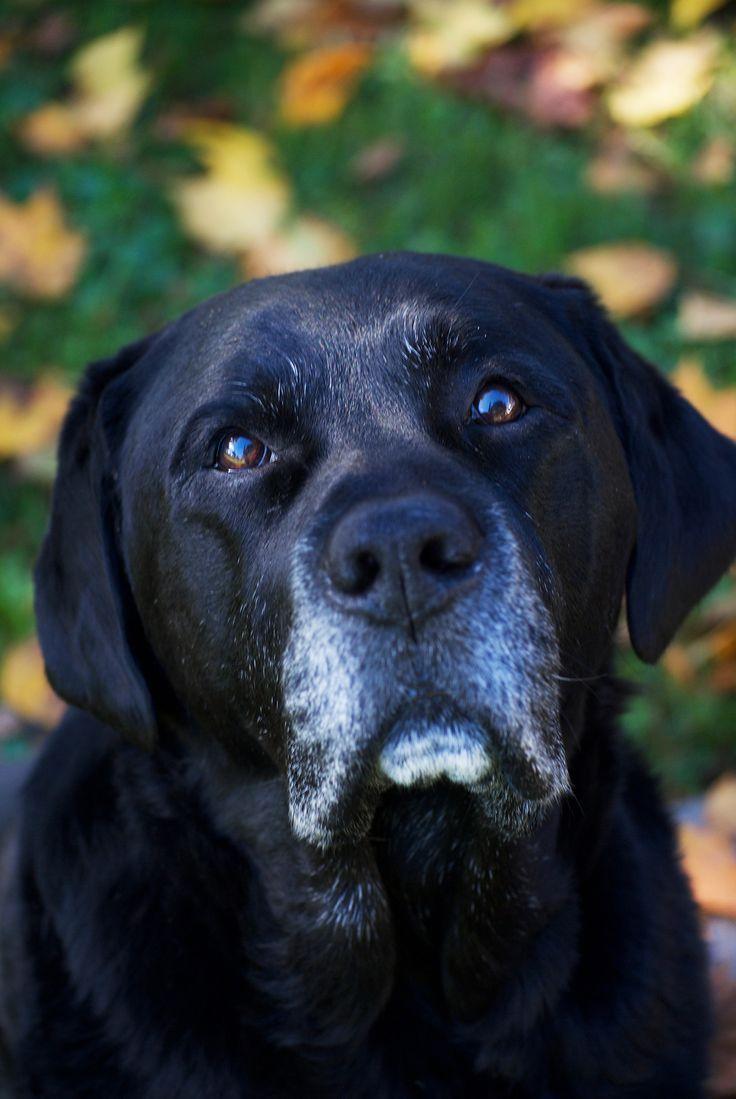 Pin By Julie Shemanski On Labrador Retrievers Black Labrador