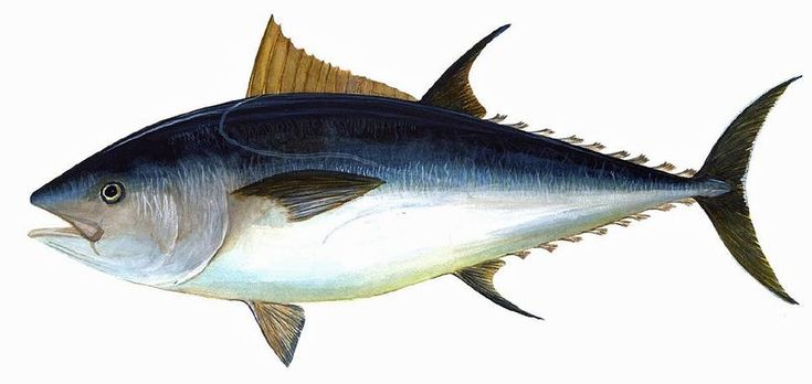 Potential Western Atlantic spawning area found for Atlantic bluefin tuna