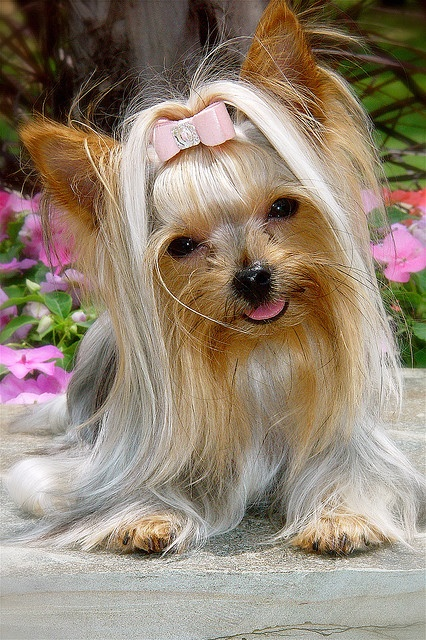 This yorkies hair is so long!!! But super cute!!