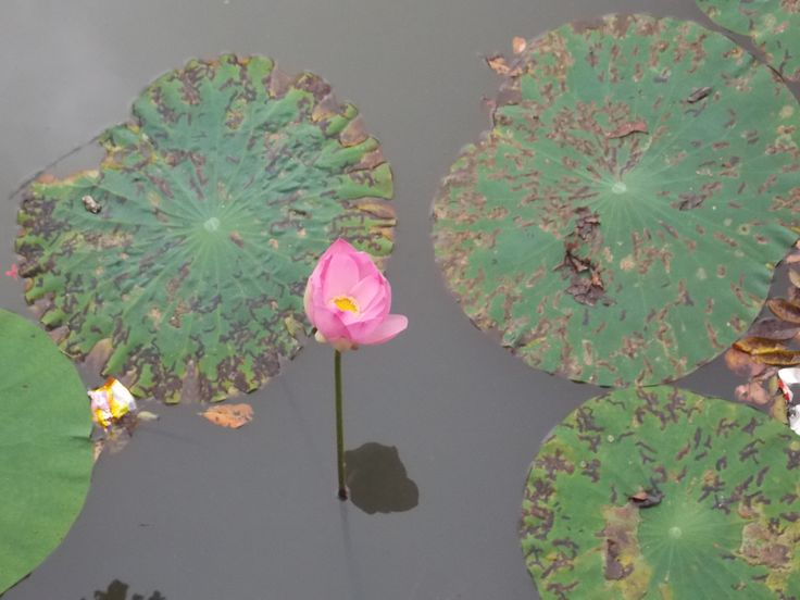 nelumbo - lotos sigiriya sri lanka