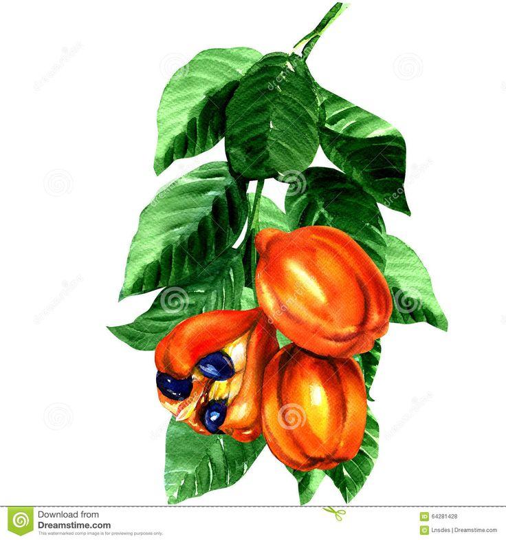 Ackee painting   Tropical Blighia Sapida Fruit, Ackee Tree Stock Illustration - Image ...