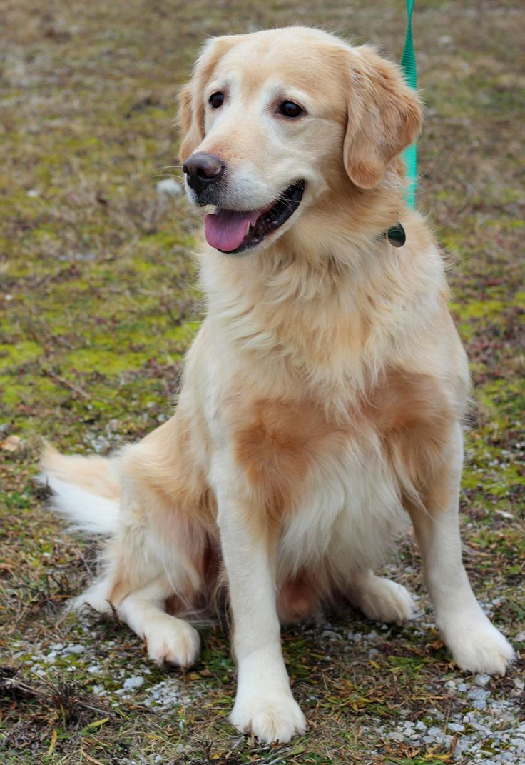 The Davinci Foundation for Animals RESCUE ACROSS THE NATION:OH This is Chet - 6 yrs. He was an owner surrender. He is neutered, current on vaccinations and potty trained, good with dogs. Golden Retriever Rescue Resource, OH. - http://www.gr-rescue.org/golden_retrievers_for_adoption_10.html#.VLQxVCvF_tY