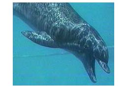 How Do Marine Mammals Produce Sound? Marine mammals produce sounds that are used for communication, feeding, and navigation. Almost all vocalizations are produced through the movement of air from one area of the head to another. #FLVS #marine #science #mammals #sound