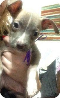 Dallas, GA - Pit Bull Terrier. Meet Amelia, a puppy for adoption…