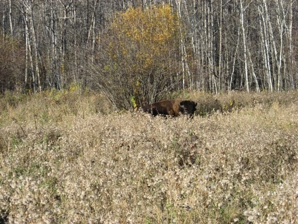 Peeking bison at Sturgeon River Ranch in Saskatchewan