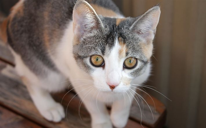Hämta bilder Egeiska katt, 4K, husdjur, grå katt, Felis catus
