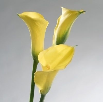 If you're getting married this February, Calla Lilies are a lovely option.They make a bold statement showcased solo and are available in bright colours like red, orange, pink, white and yellow.