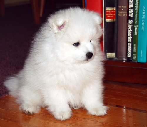 pomeranian samoyed mix best 25 japanese spitz ideas on pinterest japanese 7923