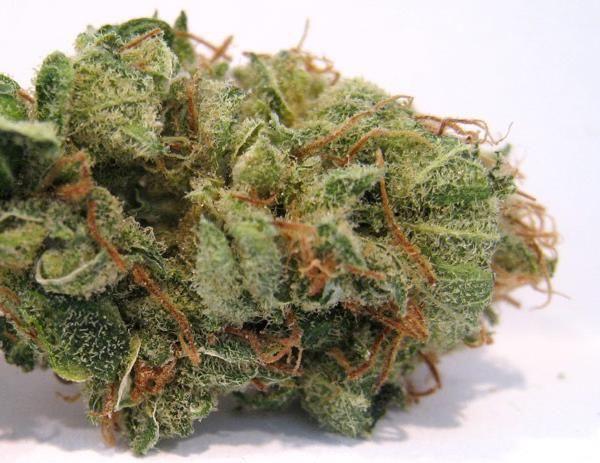 Pineapple Express Autoflowering  http://www.bitcoinseedstore.com/pineapple-express-auto-fem-5-pk.html  #cannabis #weed #pot #ganja #stonernation #marijuana
