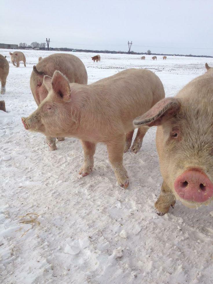 Pigs, out on open pasture! Enjoying the snow of this winter. #peepinc #pastureraised #nonGMO #chemicalfree #antibioticfree #antibioticfree #sustainablefarming #healthypigs #pork