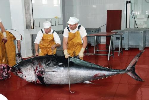 Cuando llega la temporada de captura, la afición por conocer los secretos de esta especie se multiplican. Pero no es necesario esperar todo el año para descubrir las posibilidades que ofrece este tesoro que cotiza en la Bolsa de Tokio/ You can know the Red tuna's  secret (also known as blue fin tuna) in Cádiz. But not only at may...