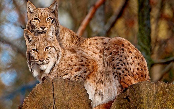 Lynx in Romania