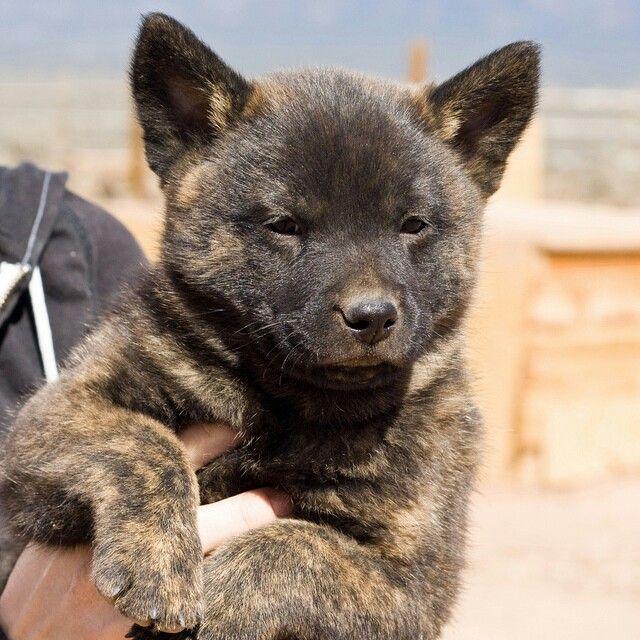 Tora Inu Also Called Kai Ken Dog Facts Dogs Kai Ken