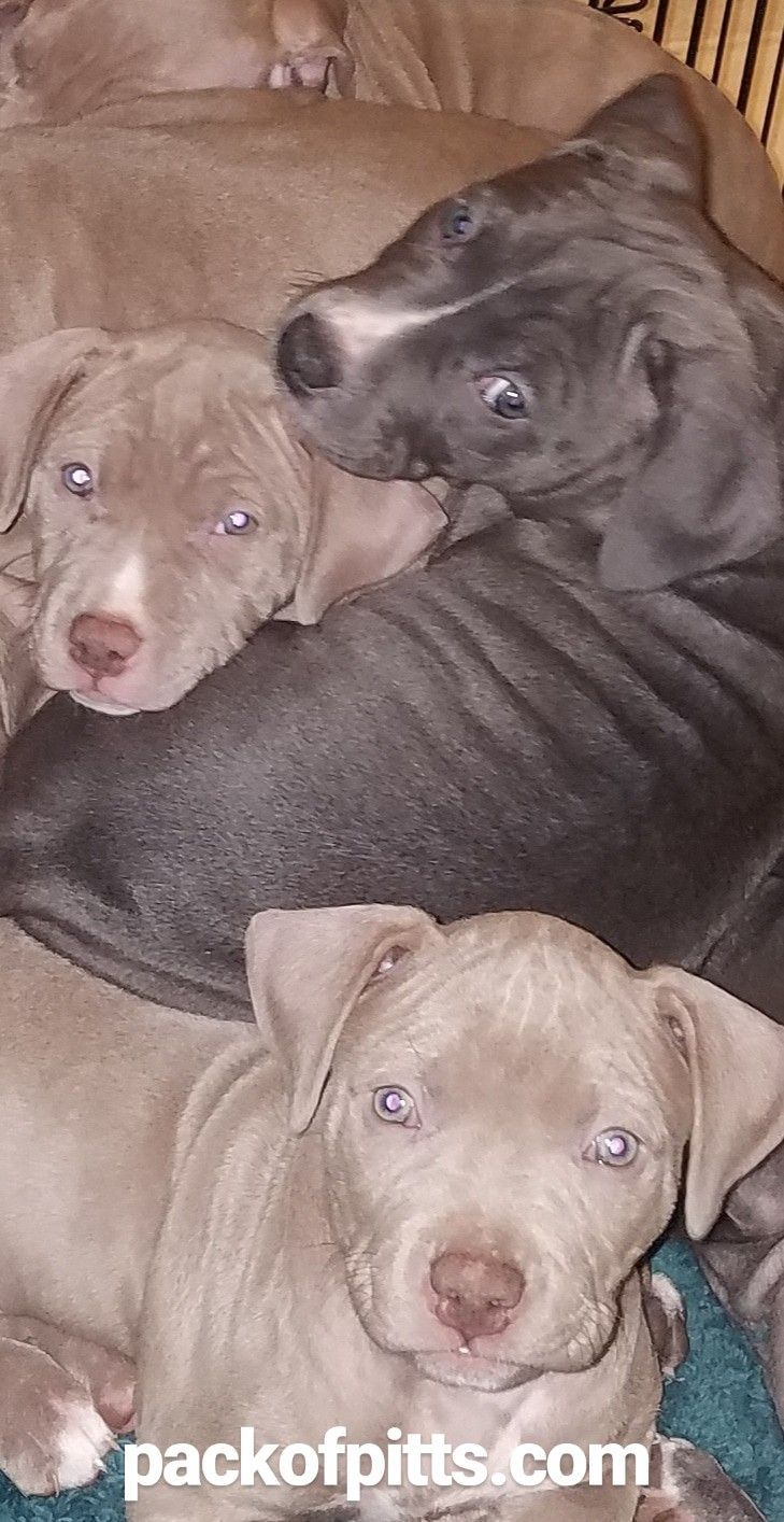 Pack Of Pitts Kennels Cervato Bella Blue Champagne Puppies