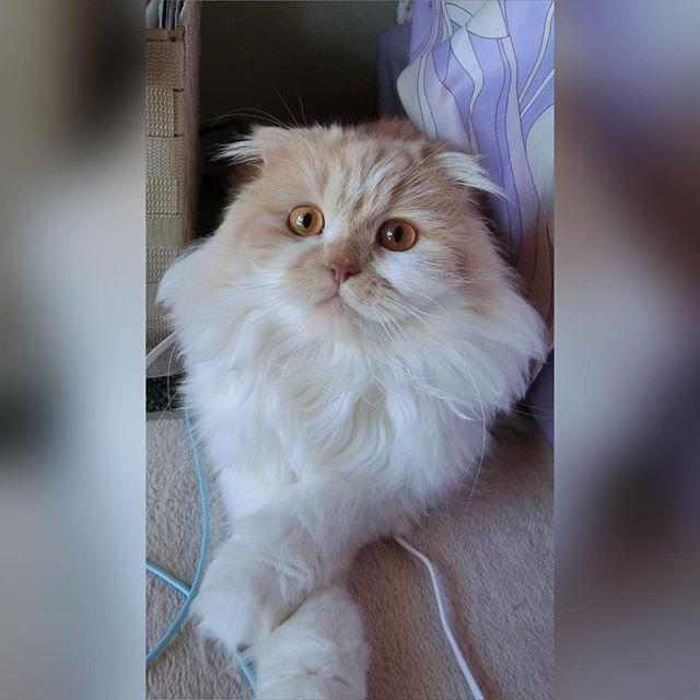 . ハルク🐱手のクロスはお決まり👏 . . . . ,#愛猫#激愛#スコティッシュ#スコティッシュ垂れ耳 #スコティッシュフォールド#scottishfold#ねこ部 #猫のいる暮らし#猫好き#にゃんこ#にゃんこ好き #cat#instagood#instadiary#instalove
