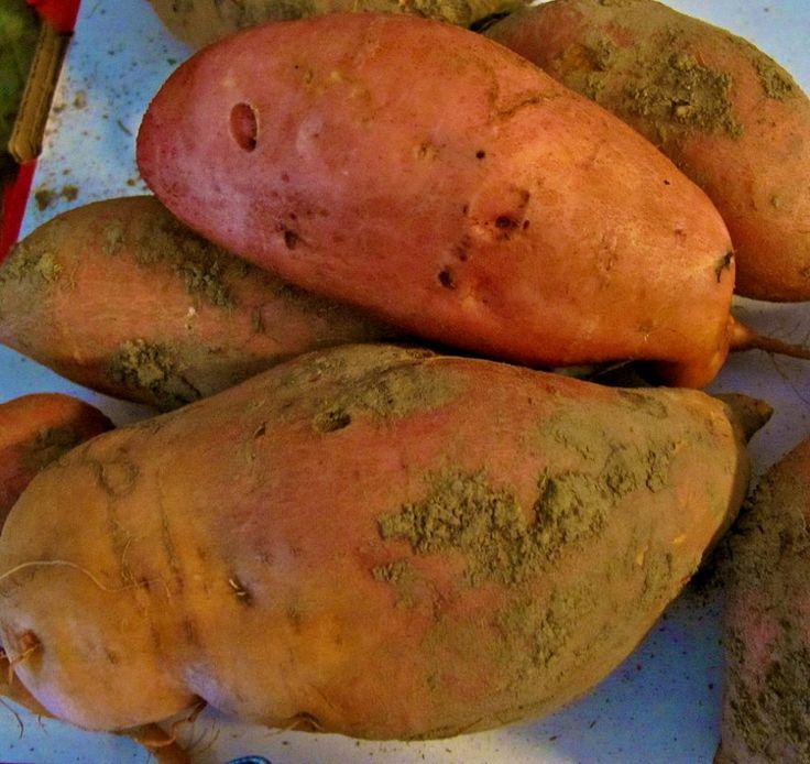 Growing and Harvesting Sweet Potatoes