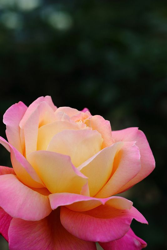 """Rose """"Diana.Princess of Wales"""" I have this rose bush in my garden. It is so beautiful!"""