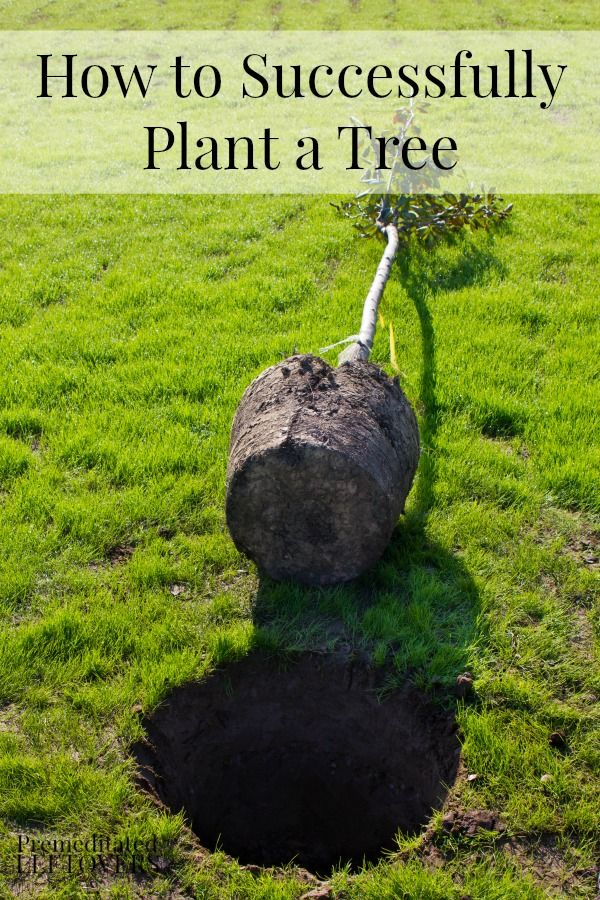 How to Successfully Plant a Tree - These tips for planting bare root trees and burlap wrapped trees will help you give your trees a good start.