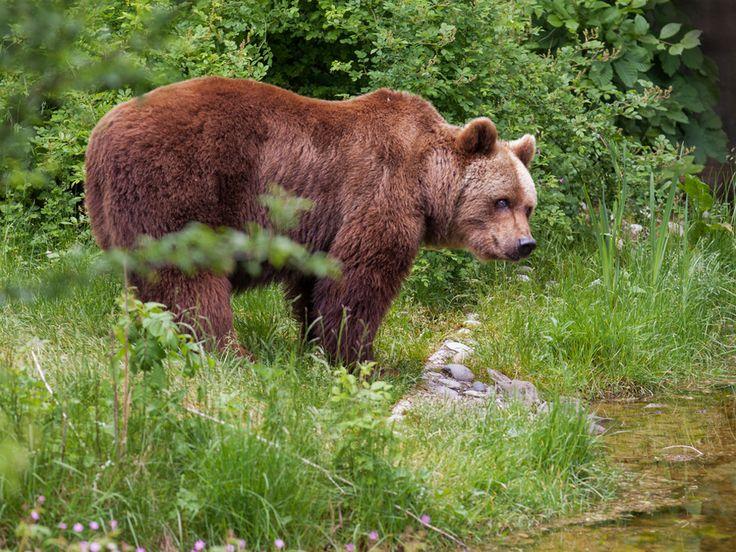Los osos pardos son animales solitarios que emiten multitud de huellas químicas para comunicarse con sus congéneres. La última que se ha descubierto: el olor de pies.