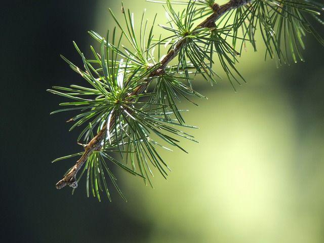 Tannen, Tanne, Ast, Natur, Grün, Wald, Lärche