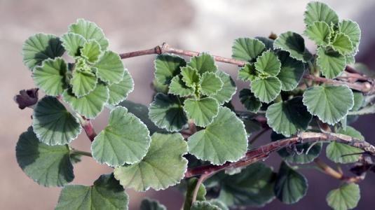 Die Kapland-Pelargonie ist eine alte Heilpflanze Südafrikas, die traditionell bei Lungenerkrankungen genutzt wird. Um 1900 gelangte dieses Wissen nach Europa, und schon 1930 wurde die Pflanze zur Behandlung von Tuberkulose zugelassen. Heutzutage nutzt man die Kapland-Pelargonie bei Bronchitis, entzündeten Nasennebenhöhlen oder Mandeln bei Erwachsenen und Kindern.