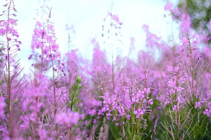 #цветы #поле #розовый #сиреневый #природа