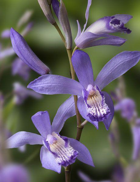 Buy half hardy hyacinth orchid Bletilla striata 'Blue Dragon': Delivery by Crocus.co.uk