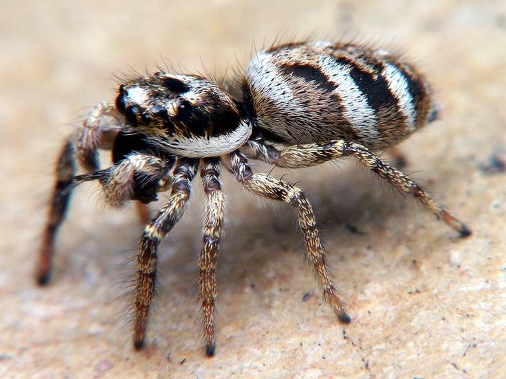 Zebra Spider - The zebra spider is a common household jumping spider. Like other jumping spiders, it does not build a web. It uses its four pairs of large eyes to locate prey and its jumping ability to pounce and capture it. Zebra spiders are often noted for their awareness of humans. Upon noticing someone observing them, they can be seen raising their head, and usually change behavior.