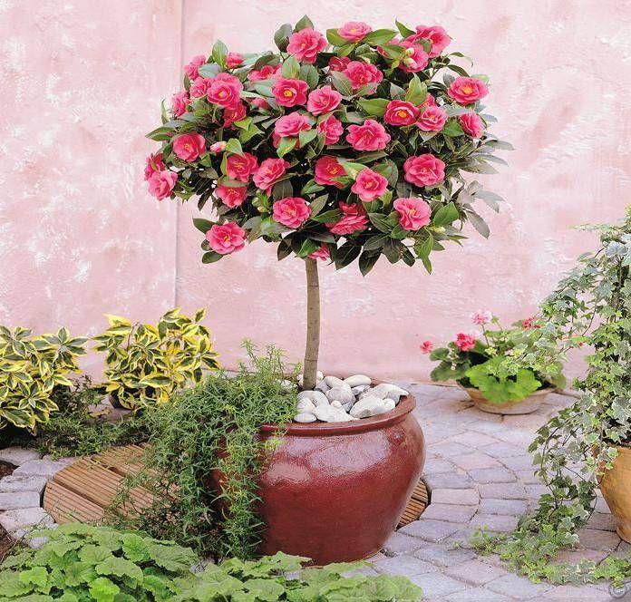 Kamelia Japonska Miniaturowe Drzewka Na Balkon Kwitnace Ozdobne I Owocowe Camellia Tree Camelia Tree Trees To Plant
