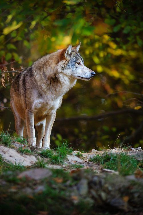 lupo solitario