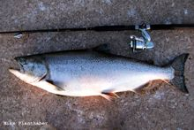 Chinook Salmon -  Oncorhynchus tshawytscha  Chinook or king salmon are the largest of the pacific salmon species.