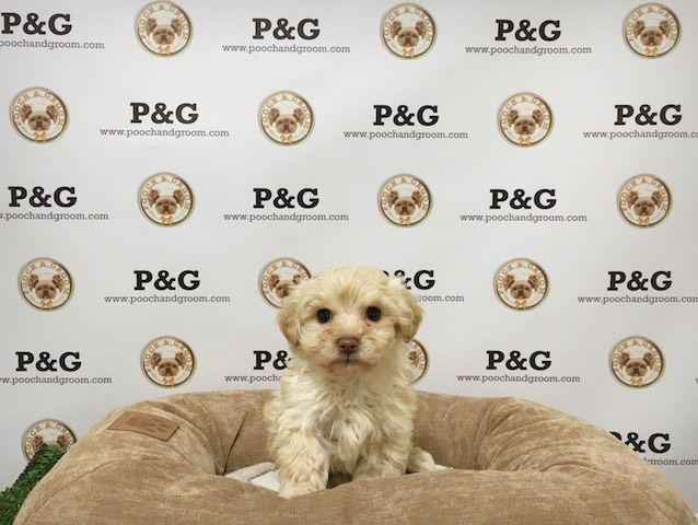 Maltese-Poodle (Toy) Mix puppy for sale in TEMPLE CITY, CA. ADN-22490 on PuppyFinder.com Gender: Male. Age: 7 Weeks Old
