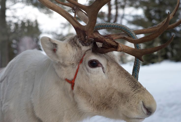 Visit on the reindeerfarm Virkkunen in Taivalkoski, Lapland