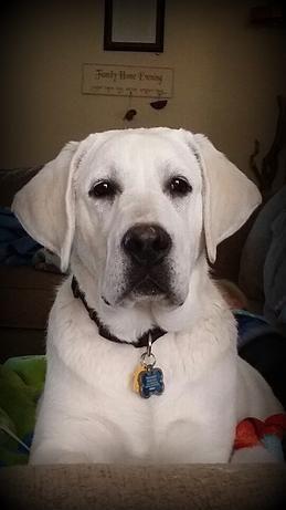 English Lab puppy idaho