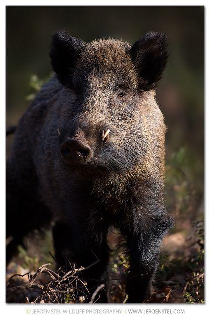 Wild Boar-Sus scrofa