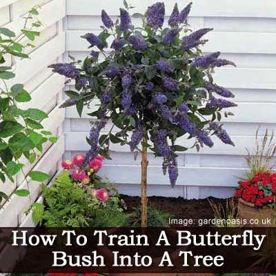 how to make a butterfly bush into a standard so it looks like a tree.