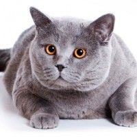#dogalize Razas Felinas: Gato Britanico de pelo corto caracteristicas #dogs #cats #pets