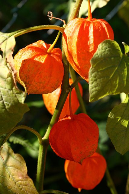 Alchechengi (Chinese Lantern) - not really flowers but don't have just a garden board (yet)