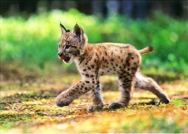 Baby lynx. Photo: Hannu Hautala
