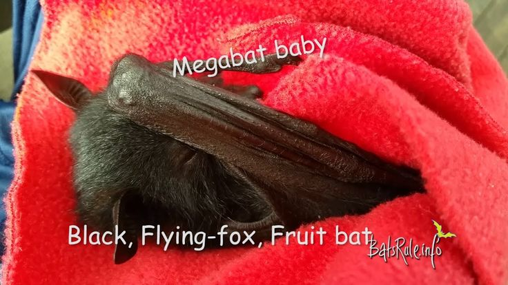 Baby Bat orphaned rescued in care Megabat black male FlyingFox Fruit Bat