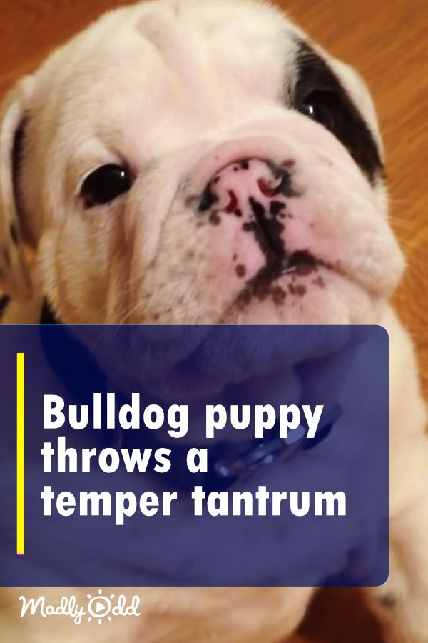 She Tells Her Lovable Bulldog Puppy To Shush He Proceeds To Throw