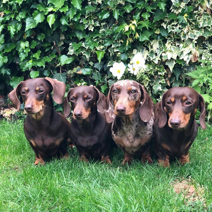 Best Puppy Food For Dachshunds Australia References