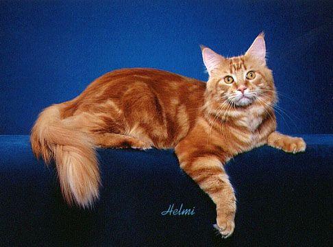 Maine Coon | Cat Fancy