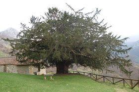 """Este tejo también lo llaman el Teixu líglesia, es un tejo milenario y fue declarado monumento natural el 27 de Abril de 1995, tiene una copa que mide 15 metros, una altura de 10 metros y un tronco de unos 8 metros de perímetro, esta considerado el tejo más antiguo de Europa. y ha ganado el premio de la ONG """"Bosques sin Fronteras"""" y el del Ministerio de Medio Ambiente y Medio Rural y Marino de """"árbol más longevo"""""""