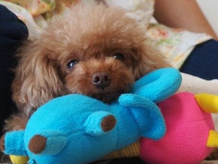 #Pardo#Toy#poodle#happy#girl#cute#tiny