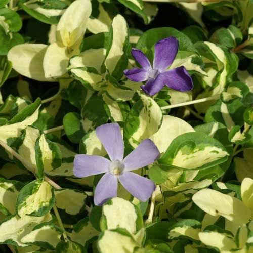 17 best images about vinca on pinterest gardens sun and for Vinca major