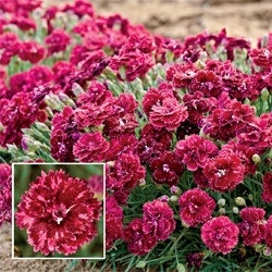 Pomegranate Kiss Carnation: Summer Blooming, Ideas, Yard, Pomegranate Kiss, Carnations, Kiss Carnation, Garden, Pomegranates, Products