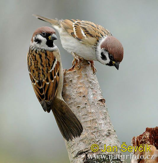 Tree Sparrow - well that makes sense. I have trees. :)