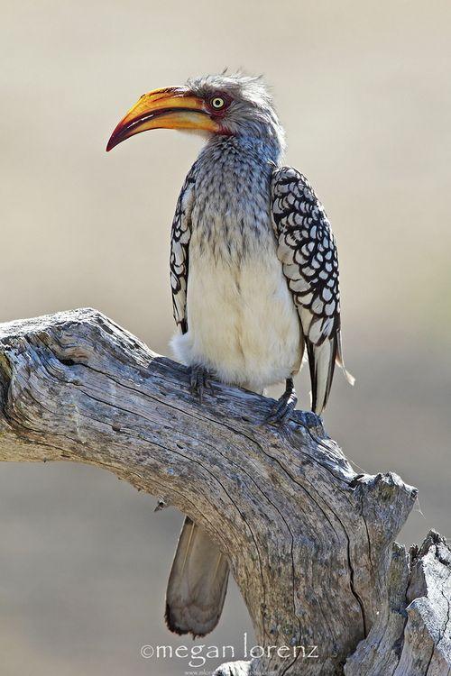 Yellow-Billed Hornbill, Sabi Sands, South Africa