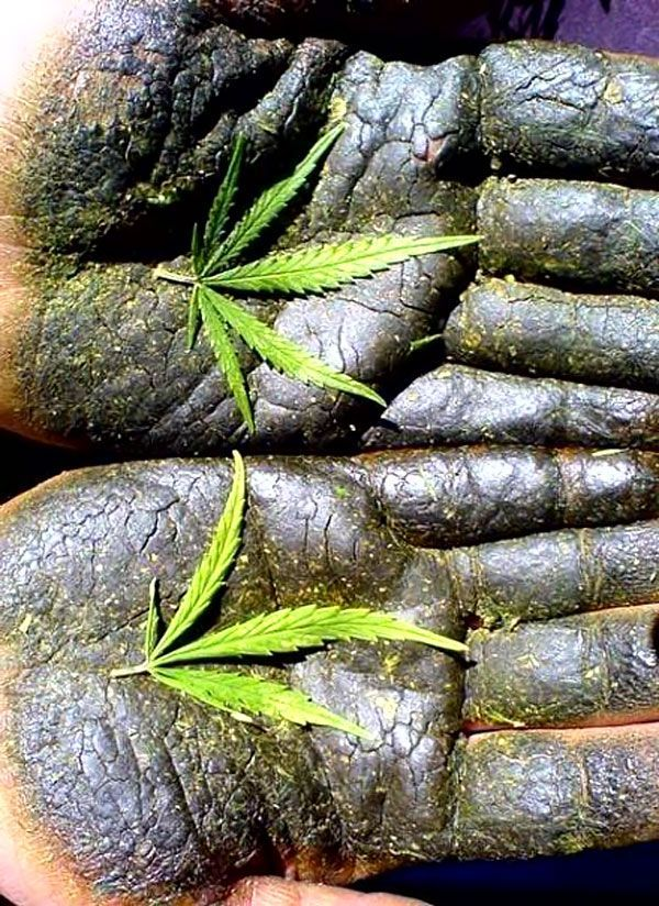Hashish harvest hands ganja tasty canni banni for Interiores para marihuana